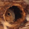 Squirrel in Hollow Tree